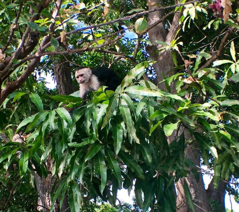Monkeys at Dreams Las Mareas Costa Rica