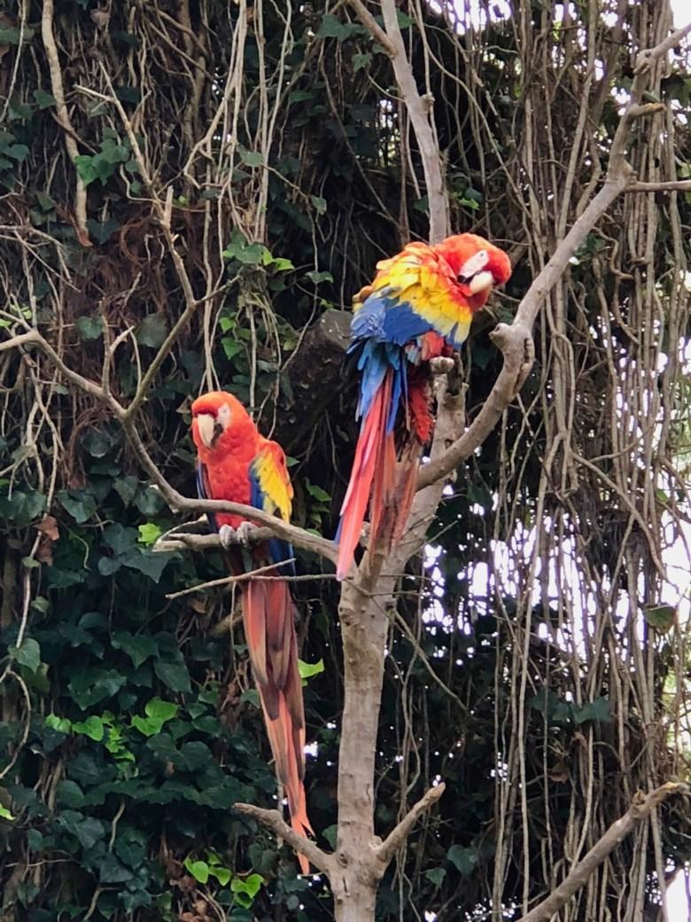 macaws at Porta Hotel Antigua