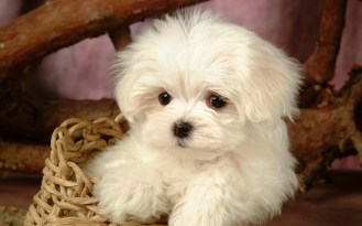 cute-baby-puppy-photos-1
