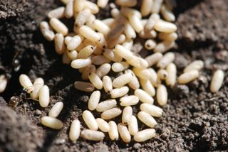 ant cocoons