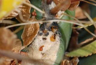 ants at extrafloral nectaries