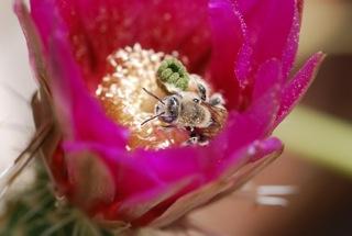 hedgehog cactus flower with bee