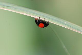 twicestabbed lady beetle
