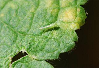 leafhopper