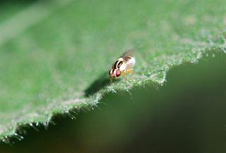 leafminer fly