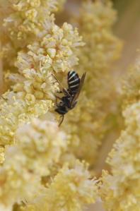 Stripe bee