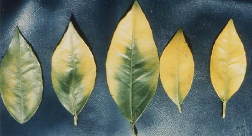 587-1739354940-magnesium deficiency on lemon - citrus-main image (1)
