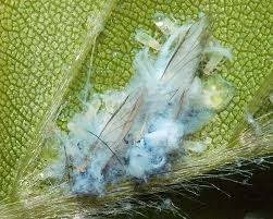 woolly aphid 3