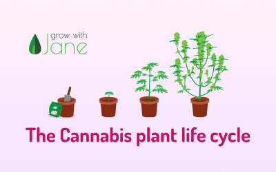 The Cannabis plant life cycle (stages)