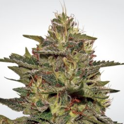paradise-seeds-original-cheese