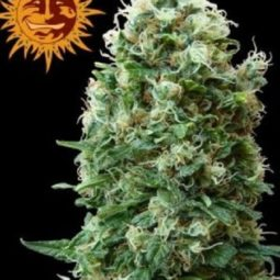 phatt-fruity-growshop-growmart