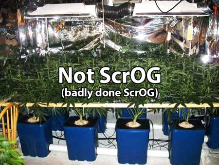 Badly done Scrog - Even though this uses a screen, it is NOT Scrog because the screen has not been positioned properly