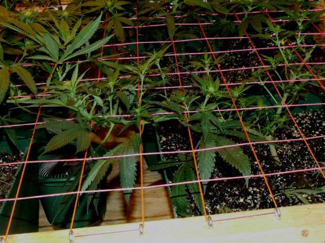Example of a REAL scrog in action