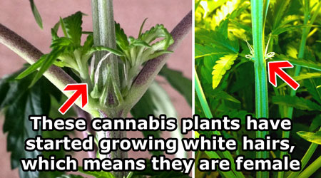 Female cannabis pre-flowers - these wispy white hairs are pistils, the first sign that this marijuana plant is a girl