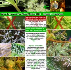"""Click for """"When to harvest marijuana by looking at trichomes"""" infographic"""