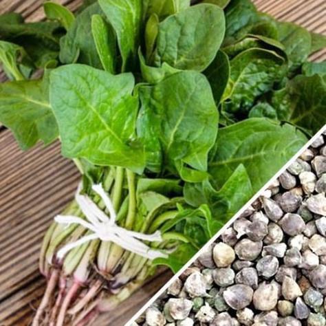 Spinach_-_America_seeds_1024x1024