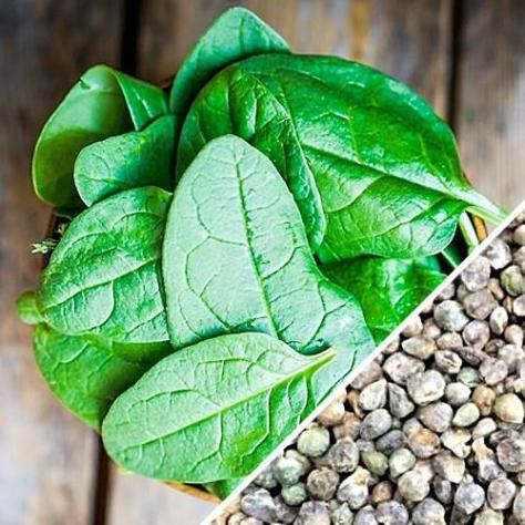 Spinach variety Noble Giant for Tower Garden