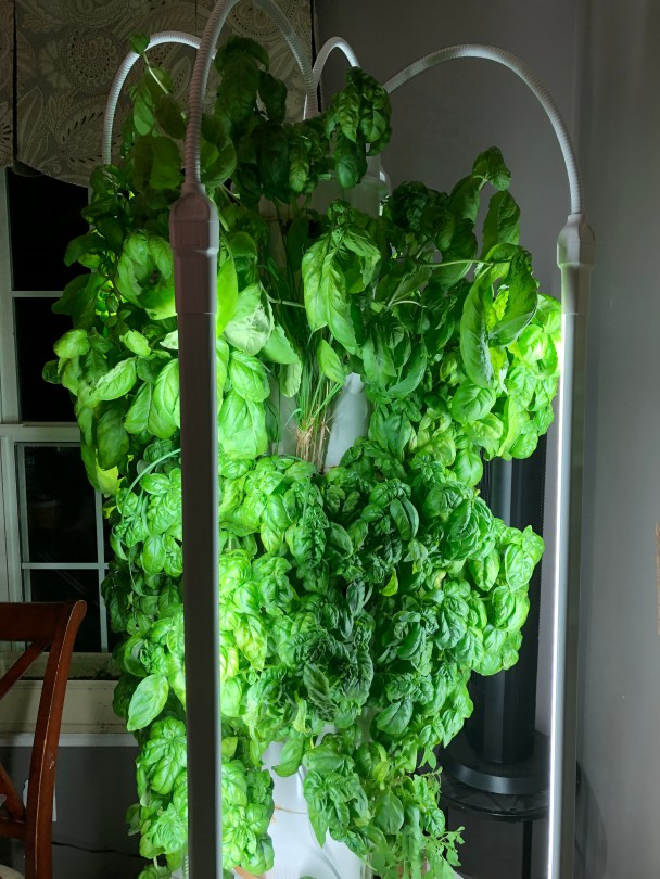 Basil growing indoors on a Tower Garden
