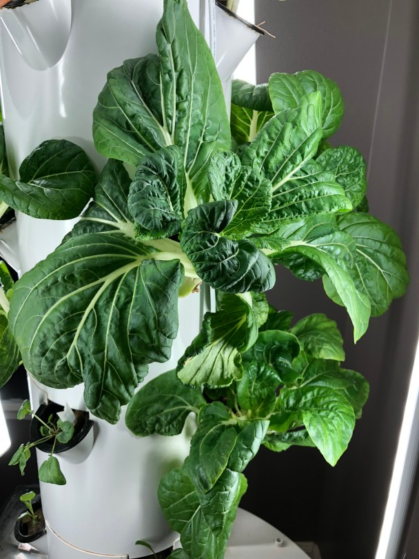 Bok Choy growing on the Tower Garden