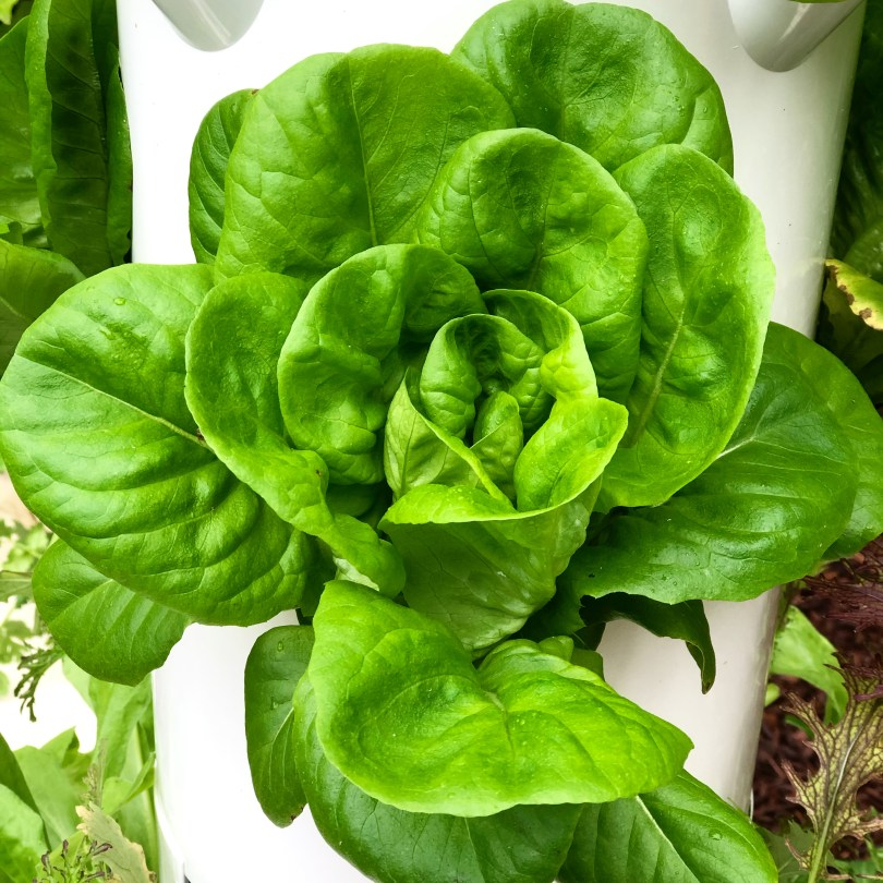 Butterball Lettuce Growing on a Tower Garden