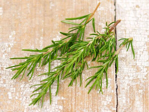 Herb Rosemary Plant Start