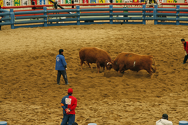 ccheongdo bull fighting festival, korean bullfighting, popular festivals in korea, festivals in korea