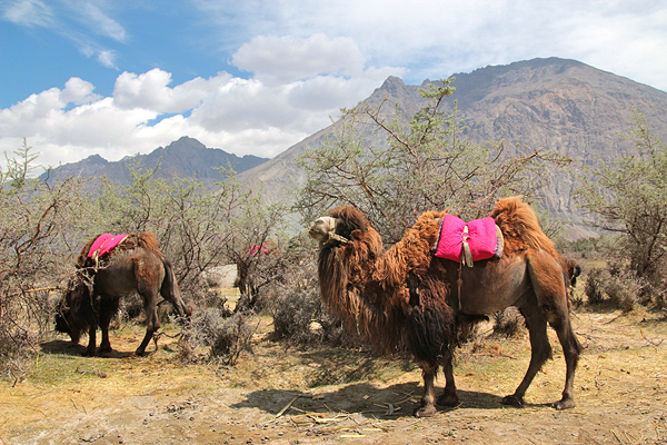 two humped camels in ladakh hundar diskit