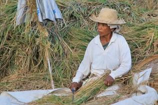 Bali rice farming, balinese farming