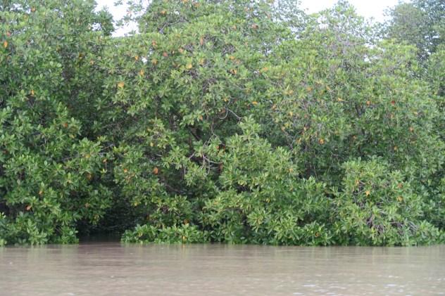 mangroves, borneo mangroves