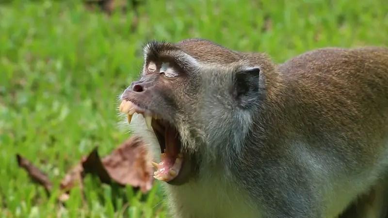 macaques, monkey in borneo, borneo monkeys, Bako National Park wildlife, Bako National Park attractions