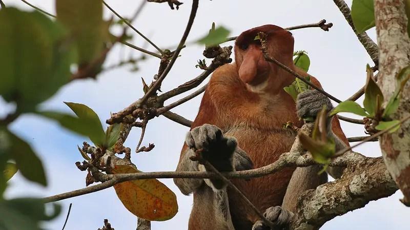 proboscis monkey, bako national park borneo, borneo animals, exotic monkeys, borneo monkey