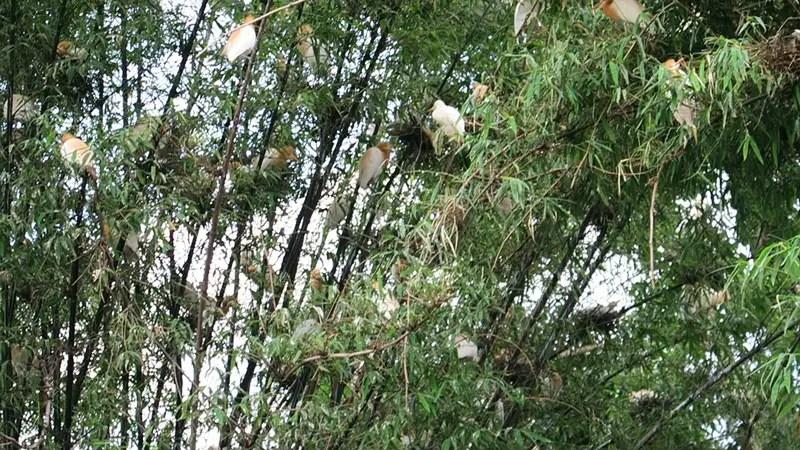 egret birds pokhara, phewa lake birds