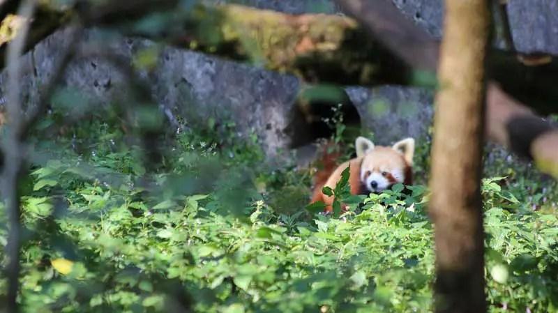 red panda darjeeling, himalayan zoo darjeeling
