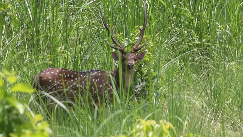 deer chitwan national park