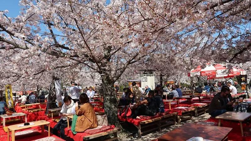 hanami in murayama park kyoto