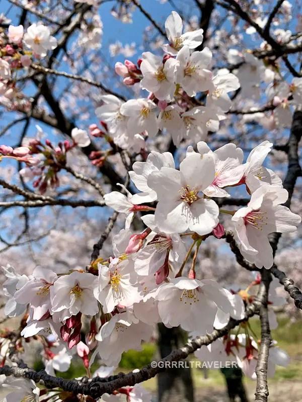 Sakura flower, top 10 sakura sweets, top 10 sakura snacks, 10 must try sakura snacks