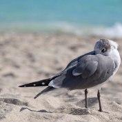 seagulls_13