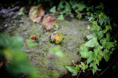 Walnussbaum, Schaumgasse in Meinerzhagen. © 2015 Foto: Stefanie Schildchen