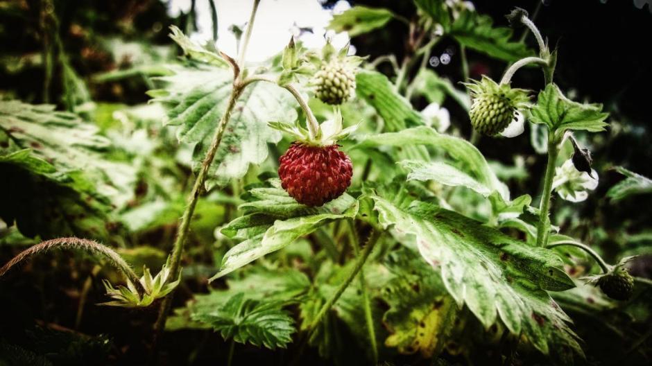 Wilde Erdbeere 2016 Grüne Gegend www.gruene-gegend.de © Foto: Stefanie Schildchen