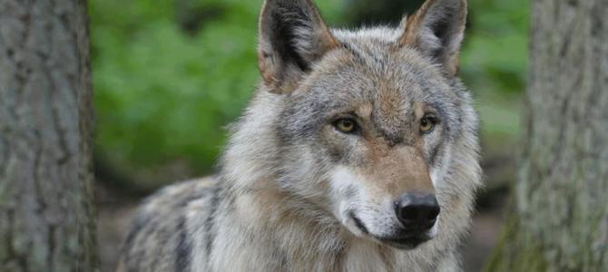 Wolf in Gummersbach gesichtet