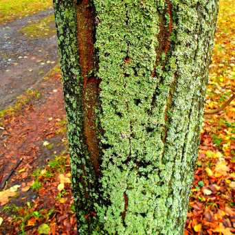 Baum im Moosmantel