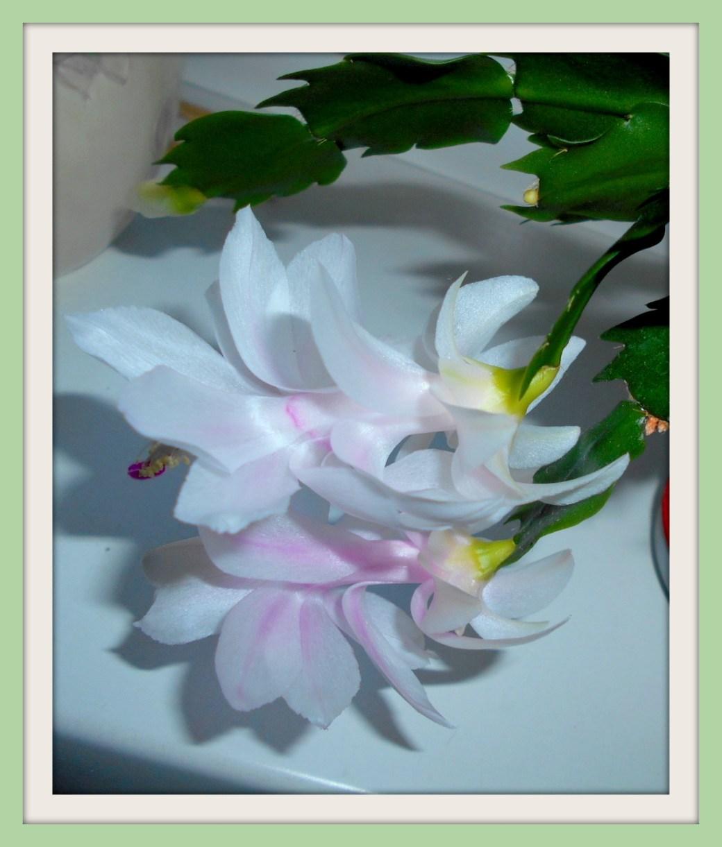 Kakteenblüte im Rahmen