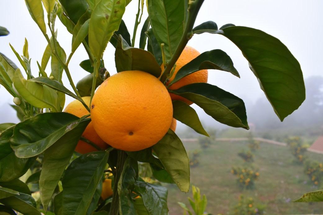 orange reif