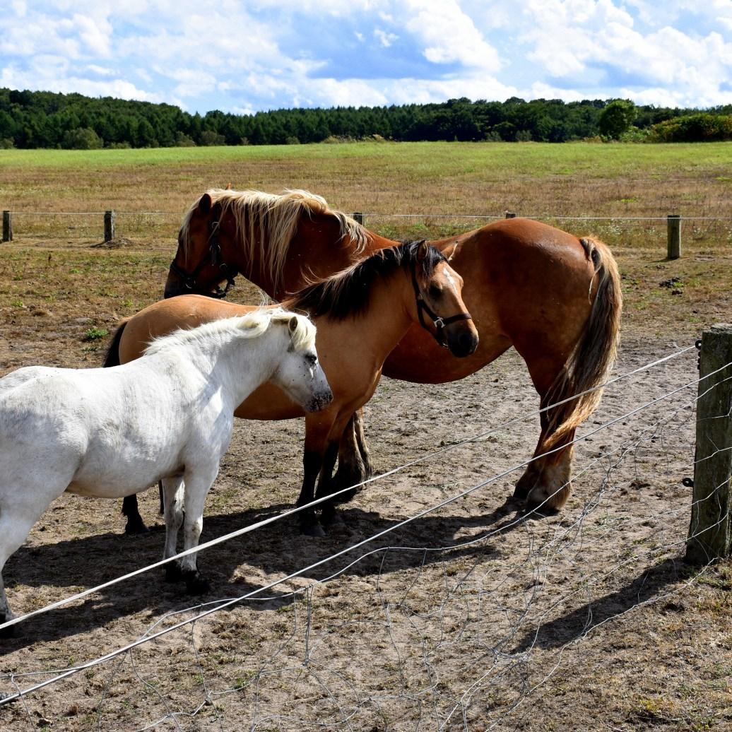 Pferde - Kopie