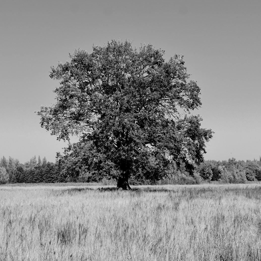Baum auf Wiese sw
