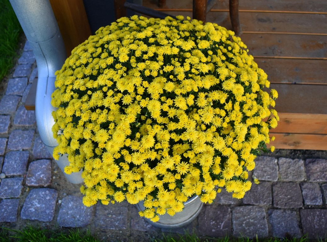 Gelbe Magarite
