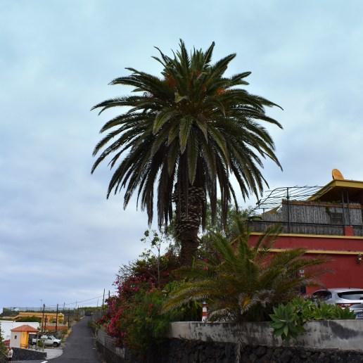 Riesenpalme auf dem Weg nach La Bombilla