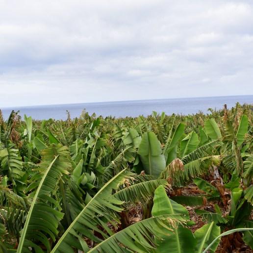 Soweit das Auge reicht - Bananenplantagen bei La Bombilla