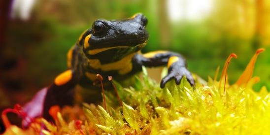 Der Feuersalamander steht symbolisch für das Bundesprogramm Biologische Vielfalt (Quelle: bfn.de)