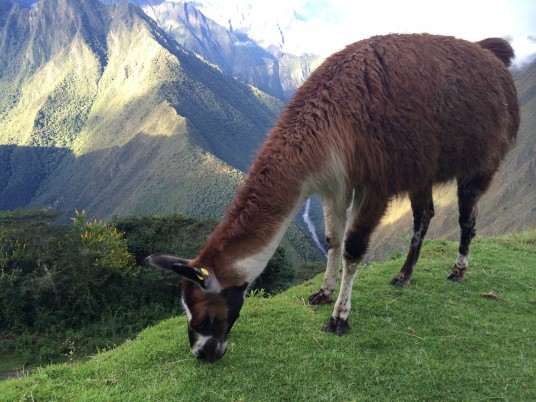 Alpaca times at the Inca trail